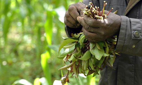 Khat, The Herbal Stimulant, To Get Banned