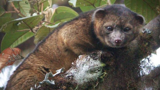 Adorable New Species Of Mammal Found In Just Plain Sight