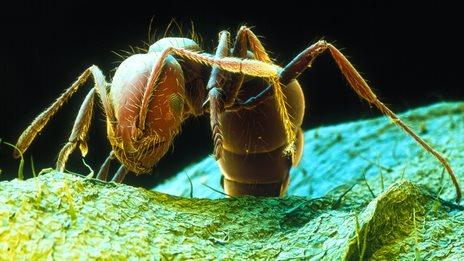 Invasive Ants