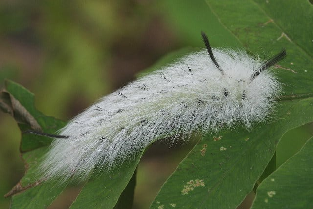 Apataelode Caterpillar