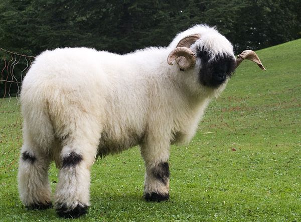 Valais Sheep