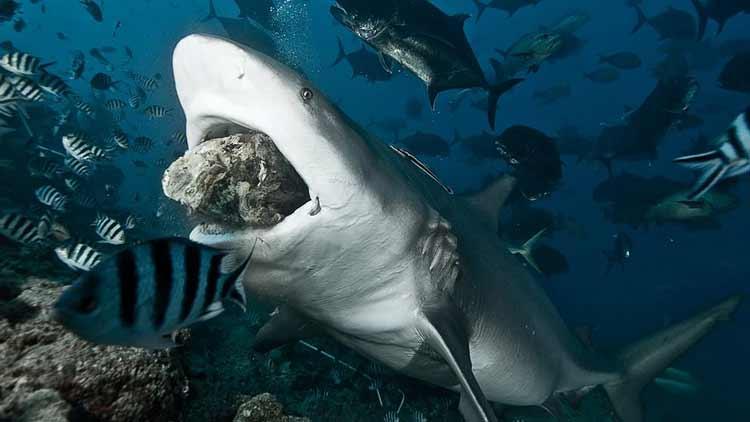Bull Shark Frenzy