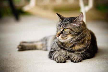 cats hearing power