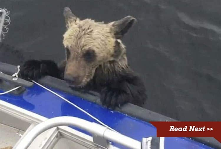 The bear cubs we panicking and struggling in the water until the kind fishermen stepped up and pulled them aboard.