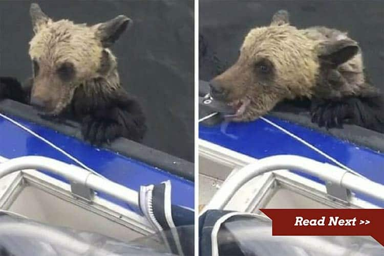 These cute and needy bear cubs need help but how to get them on board?