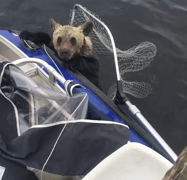 A bright idea to save the floundering bear cubs.
