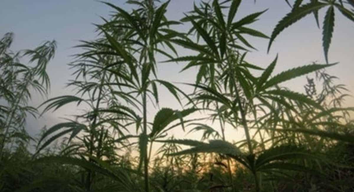 weed destination