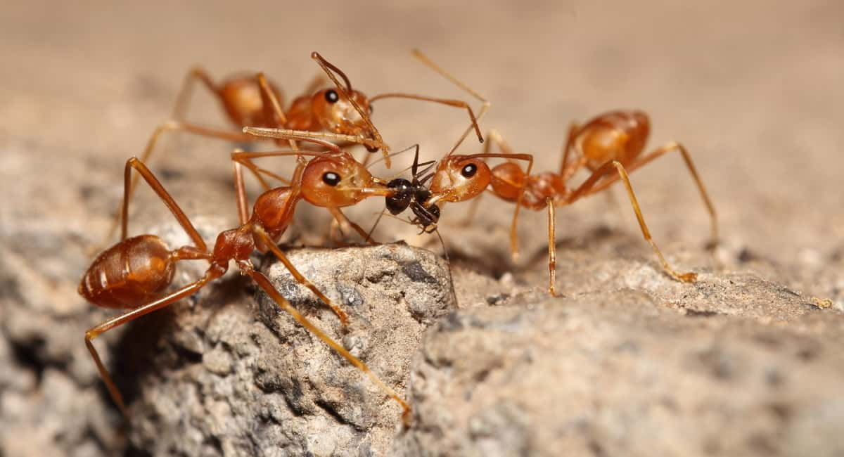 Fight Them With Fire How to Kill Fire Ants in Your Yard