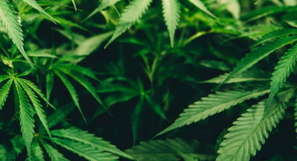 How to Achieve the Perfect Temperature to Grow Cannabis