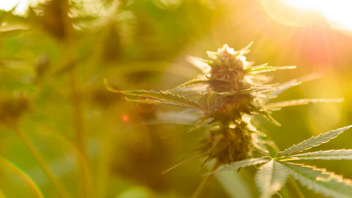 smoking hemp flower