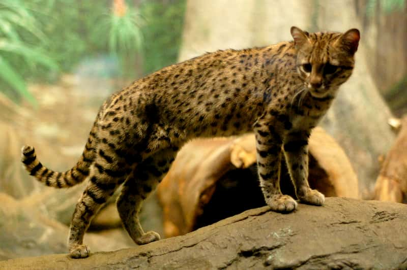Geoffroy cat