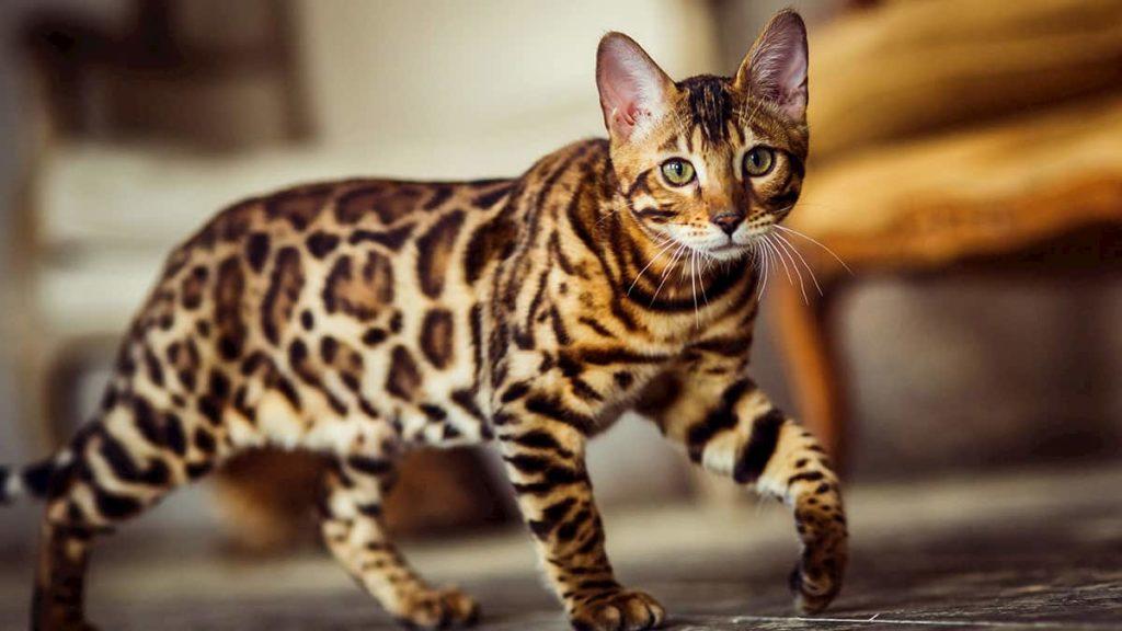 cat that looks like a leopard