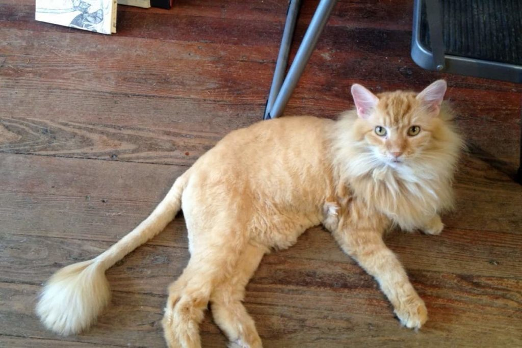 cat that looks like a lion