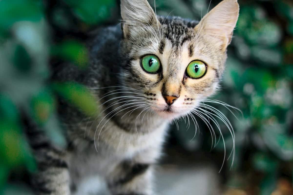 tiger looking cat