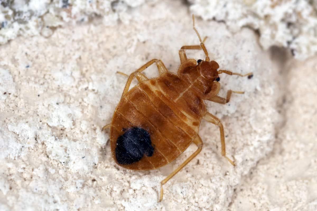 bed bug prep