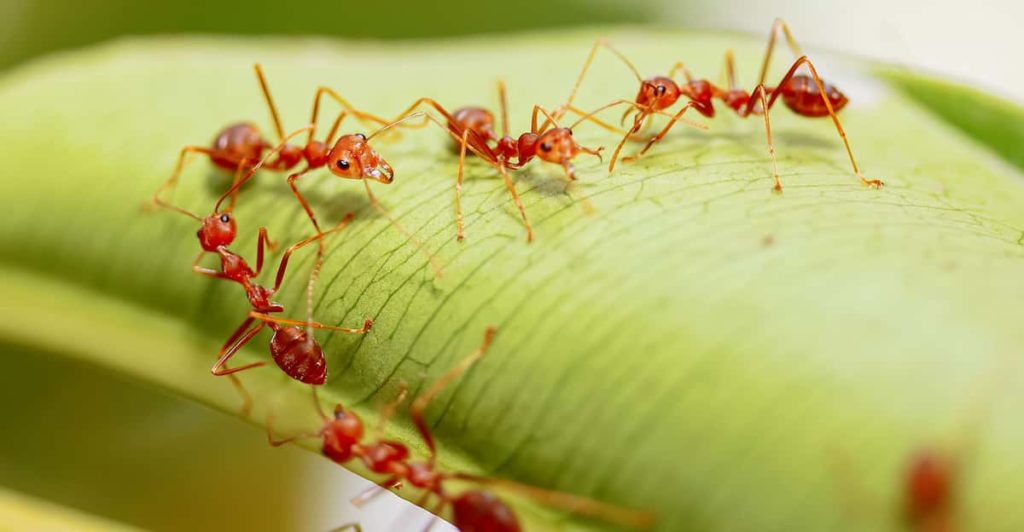 Red Imported Fire Ants