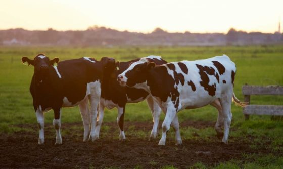 Cattle Business