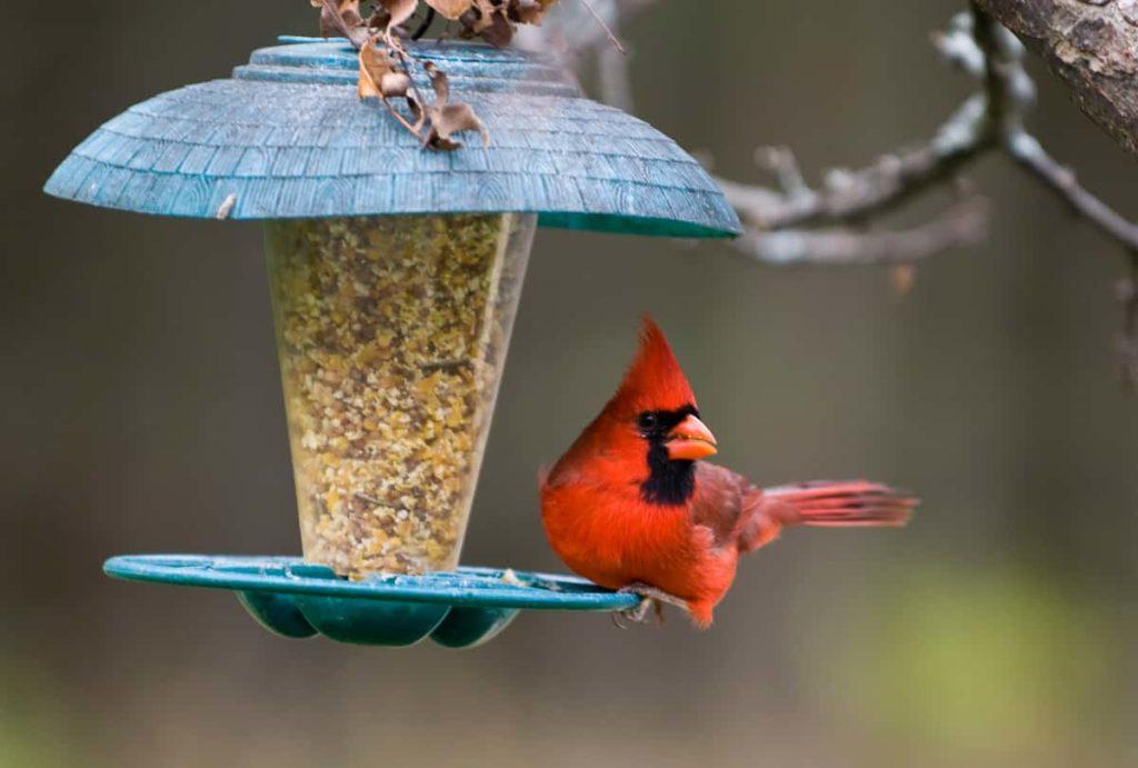 Looking After Your Backyard Bird Feeder